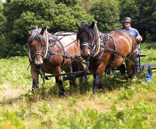 Heavy Horses on Common